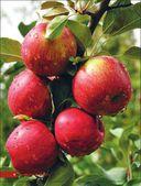 Яблони и груши. Секреты урожая от Октябрины Ганичкиной — фото, картинка — 3